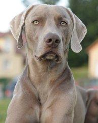 BIG GOOD DOG